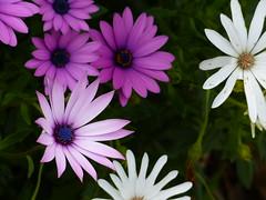 oh happy days [Explore-2016-09-22] (Gazman_AU) Tags: flowers spring daisy bloom plant garden outdoor closeup