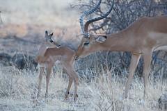 """""""Hey, Are You My Dad?"""" (Kitty Kono) Tags: gazelle samburu kenya kittyrileykono"""
