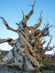 Impressive bristlecone pine on the Discovery Trail out of Schulman Grove (Alaskan Dude) Tags: california travel landscape sierranevadas schulmangrove nationalmonuments bristleconepines bigpine ancientbristleconepineforest