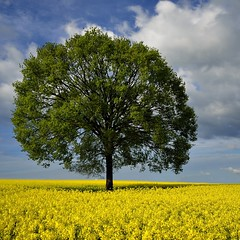 the lonely tree (pierre hanquin) Tags: flowers blue light sky cloud sun flower color colour tree green nature fleur colors field yellow clouds fleurs jaune landscape geotagged soleil