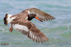 Improved: American Oystercatcher (tinyfishy (Gone to Cuba)) Tags: bird cane bay flying inflight flight american oystercatcher stcroix canebay oyster catcher usvirginislands