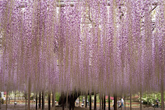 World's breathtaking beauty #1 (Takashi(aes256)) Tags: flower blossom  wisteria  ashikagaflowerpark nikond4  nikonafsnikkor50mmf14g