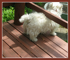 """5/12A ~ """"Me and My Shadow"""" (ellenc995) Tags: riley westie westhighlandwhiteterrier challenge 12monthsfordogs shadows 12monthsfordogs12 coth thesunshinegroup supershot naturallywonderful coth5 sunrays5 pet100 friends challengeclub akob thegalaxy 100commentgroup"""
