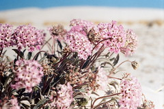 SAND VERBENA (REVISITED) (La Branaro) Tags: newmexico southwest flower slr film nationalpark sand desert kodak whitesands olympus 35mmfilm pinkflower om wildflower om1 nationalmonument nativeflower sandverbena desertflower whitesandsnationalmonument americansouthwest profoto whitedesert gypsumsand profoto100 gypsumdesert 50mmf35macro zuikomacro profotoxl uniquedesert