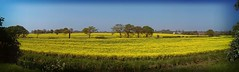 0823 - Fields of gold (Bruce Stokes) Tags: panorama tree field rapeseed bedworth 2012photos flickrandroidapp:filter=tokyo 2012photos2012