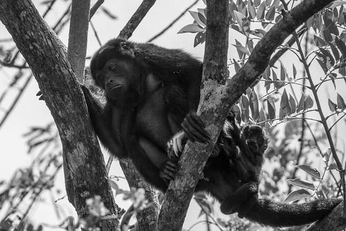 Howler monkeys I