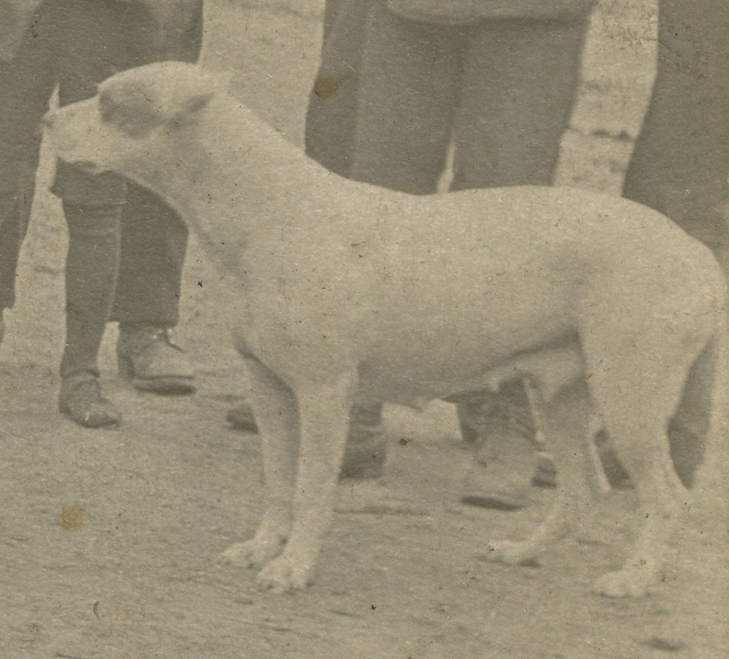 a paper on american pit bull terrier and the history of the breed I have joined today on the dicussion but i am going to do a research paper on  any breed has the potential  a brief history of the american pit bull terrier.