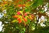 Tomorrow(s) (thetrick113) Tags: plant tree leaves maple backyard seed japanesemaple acerpalmatum hdr mapleseed hudsonvalley kingstonny sonyslta65v maplehelocopterseed