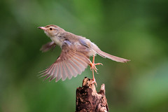 IMG_1957 (HL's Photo) Tags: bird nature birds flying wings ntu prinia  tawnyflankedprinia naturallife   blinkagain bestofblinkwinners
