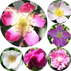 Roses PicMonkey Collage With Round Photos (Chrisser) Tags: flowers roses ontario canada nature garden spring gardening collages fourseasons closeups rosaceae canonefs1855mmf3556islens canoneosrebelt1i picmonkey