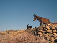 Donkeys (Rosmarie Wirz) Tags: donkeys morocco heat stonewall dryness
