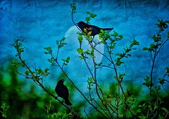 Blackbird Singing in the Dead of Night................. (LynnF1024) Tags: moon texture birds silhouette wisconsin night photoshop countryside spring aperture blackbirds thebeatles ashlandwi nikond90 afsvrzoomnikkor70300mmf4556gifed bayfieldcounty lynnf1024 aperturecolorefexpro apertureviveza