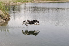 Sparky's leap (manywinters) Tags: dog reflection water sparkles jump sparky leap kleiner retrieve munsterlander blinkagain bestofblinkwinners blinksuperstars