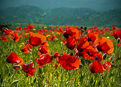 brisa sobre rojo (Inmacor) Tags: red españa flores flower primavera nature landscape lumix spring spain rojo flor paisaje viento panasonic poppies campo alcoy alcoi brisa amapolas silvestres ltytr2 ltytr1 inmacor blinkagain