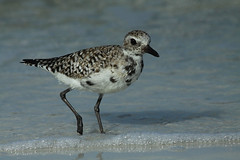 mr b b plover (Dianne M.) Tags: black beach plover bellied