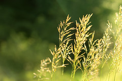 Summer Breeze (annabellemartensen) Tags: road summer sun sunlight plant ontario canada macro green nature grass canon dof wind bokeh air cottage 100mm 7d wetlands dslr breeze 2012