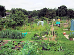 An Allotment In Hertford.