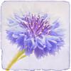 Summer flower (Master Pedda http://petersamuelsson.se/) Tags: flower texture sweden halland thegalaxy mygearandme ringexcellence