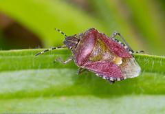 IMG_0027 Sloe Bug (Dolycoris baccarum), Attleborough Fields, Nuneaton 20 June 12 (Lathers) Tags: warwickshire nuneaton dolycorisbaccarum sloebug canon7d warwickshirewildlifetrust canonef100f28lisusm attleboroughfields wkwt 25june12