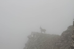 Fog encounter (Elysium 2010) Tags: wild mountain alps fog ridge alpine wildanimal wilderness ibex