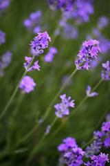 Lavander (maGifoto) Tags: flower macro nature fleur field garden purple violet lavender jardin mauve champ pourpre lavendre