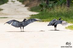 IMG_2365 (Francita aka norushpics) Tags: fauna vulture calcutta blackvulture coragypsatratus surinam saramacca francitarijhiner norushpics