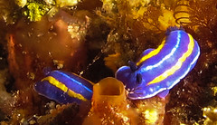 Mexichromis porterae (Ed Bierman) Tags: scuba diving marinelife ncrd gaydiving