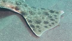 Fin of Big California Halibut (Ed Bierman) Tags: scuba diving marinelife anacapa divingtrips ncrd northerncaliforniarainbowdivers gaydiving californiamarinelife