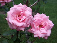 Pink Roses; Long Island, New York (hogophotoNY) Tags: cameraphone camera new pink flowers roses usa ny newyork green rose nokia unitedstates cellphone longisland iso nystate cellphonecamera pinkroses 808 64iso iso64 longislandnewyork nokiacellphone hogo hogophoto pureview hogophotony nokia808 nokia808pureview 808pureview pureview808
