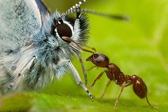 FACE-OFF   2012 (GOLDENORFE) Tags: macro butterfly insect ant redant silverstuddedblue