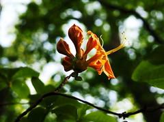 Wild azalea in orange (pilechko) Tags: bowmanshill newhope pennsylvania color flower bokeh light