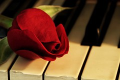 Ebony and Ivory (amarilloladi) Tags: hope rose keys piano opposites macromondays