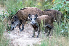 btes rousses, sanglier (sus scrofa) (G.NioncelPhotographie) Tags: sanglier boar mammifere animaux nature pentax wildlife