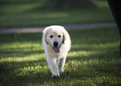 Hank4 (TaylorB90) Tags: taylor bennett taylorbennett canon 5d 5d3 7020028isii 70200 28 is ii 135l 135mm sharp golden retriever puppy goldenretriever goldenretrieverpuppy hank hoyt play cute animals puppies dogs farm