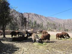 "Tilcara: en Argentine aussi, il y a des lamas ;) <a style=""margin-left:10px; font-size:0.8em;"" href=""http://www.flickr.com/photos/127723101@N04/28546123203/"" target=""_blank"">@flickr</a>"