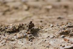 American snout (cricketsblog) Tags: melissamcmasters taxonomy:kingdom=animalia animalia taxonomy:phylum=arthropoda arthropoda taxonomy:subphylum=hexapoda hexapoda taxonomy:class=insecta insecta taxonomy:subclass=pterygota pterygota taxonomy:order=lepidoptera lepidoptera taxonomy:superfamily=papilionoidea papilionoidea taxonomy:family=nymphalidae nymphalidae taxonomy:subfamily=libytheinae libytheinae taxonomy:genus=libytheana libytheana taxonomy:species=carinenta taxonomy:binomial=libytheanacarinenta papillonlongspalpes libytheanacarinenta americansnout mariposapinocho taxonomy:common=papillonlongspalpes taxonomy:common=americansnout taxonomy:common=mariposapinocho