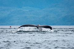 Humpback Whale (Megaptera novaeangliae) (Michael Torii) Tags: humpback whale tail canada orcadreams tour heriotbay bc britishcolumbia megapteranovaeangliae