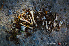 Contents of and Owl Pellet - owl-pellet-IMG_9904 (pete1074) Tags: fairburnings fairburn nature naturereserves rspb rspbfairburnings wildlife insects butterfly dragonfly macro peterjcarr petercarrphotography flickrpete1074 petecarr yorkshire westyorkshire