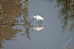 Little Egret (SLANEY58) Tags: birds egrets hongkong littleegret wetlandspark hongkongsar hkg