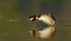 Great Crested Grebe (Wasif Yaqeen) Tags: greatcrestedgrebe crestedgrebe grebe greatcrestedgrebedance nature wildlife birds birdsofpakistan pakistanwildlife wildlifeofpakistan animals pakistannature wasifyaqeen wasif animalplanet nationalgeographic outdoor birdsinnaturalhabitat birdshabitat pakistan wasifyaqeenphotography