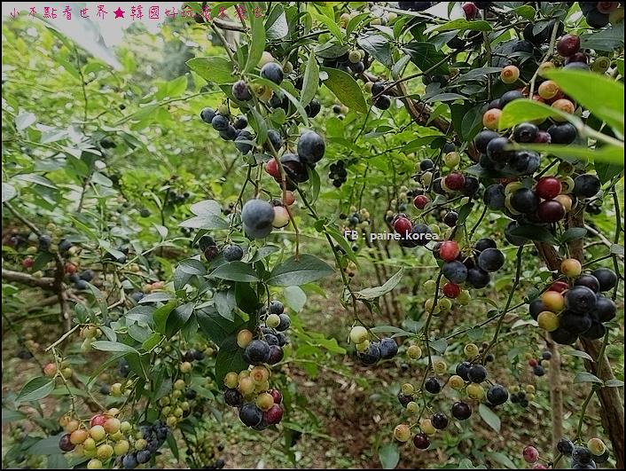 木更津藍莓園 (4).JPG