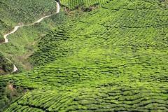 The road through the tea plantations, Cameron Highlands, Malaysia (Frans.Sellies) Tags: img2885 tea teaplantation