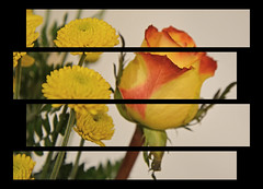 In Hiding (BKHagar *Kim*) Tags: bkhagar flower floral yellow rose flowers panels treatment