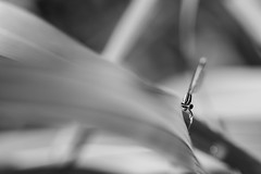 (Mat-S) Tags: dragonfly libellule demoiselle insectes insect macro macroinsectes herbes weeds rhonealpes blackandwhite noiretblanc lines