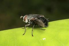 Tachinidae sp. - Costa Rica (Nick Dean1) Tags: diptera fly animalia animal arthropoda arthropod hexapoda hexapod insect insecta costarica guanacaste lakearenal arenallodge tabanidae tachinidae
