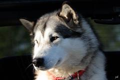 Malamute (nicphor) Tags: malamute alaska dog chien canids traineau
