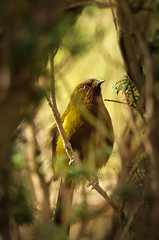 Bellbird in the yew (Yani Dubin) Tags: d7000 endemic monavale bird anthornis native gimp animal christchurch red black bellbird green brown 150600mmf563dgoshsm|c plant tree gold canterbury melanura newzealand sigma color yew darktable newzealandnative nature colour
