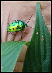 Matheran : Jewel Beetle (indianature13) Tags: matheran august 2016 westernghats maharashtra india indianature nature jungle forest biodiversity bug beetle jewelbug jewelbeetle insect