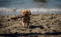 Yeah, Little Dogs Can Fetch Sticks Too! (Katrina Wright) Tags: dogs bean sand doggybeach playful tide beach dogpark dsc2960