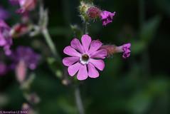 Silene Dioique ou Compagnon rouge (Silne dioica) - CH (TICHAT10) Tags: fleursetplantes rose silenedioique suisse vert vaud fleursdealpes